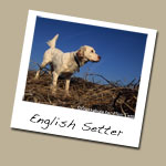 English Setter Dog Breed
